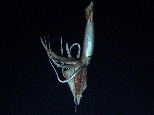 giant squid NHK Disc Chan